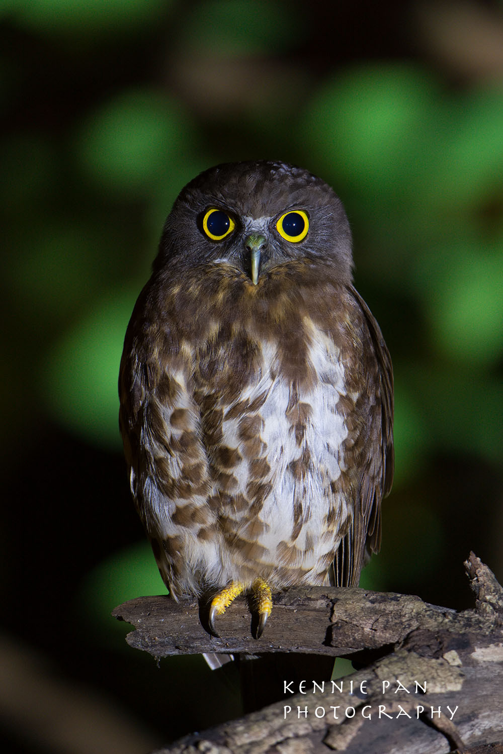 singapore brown hawk owl